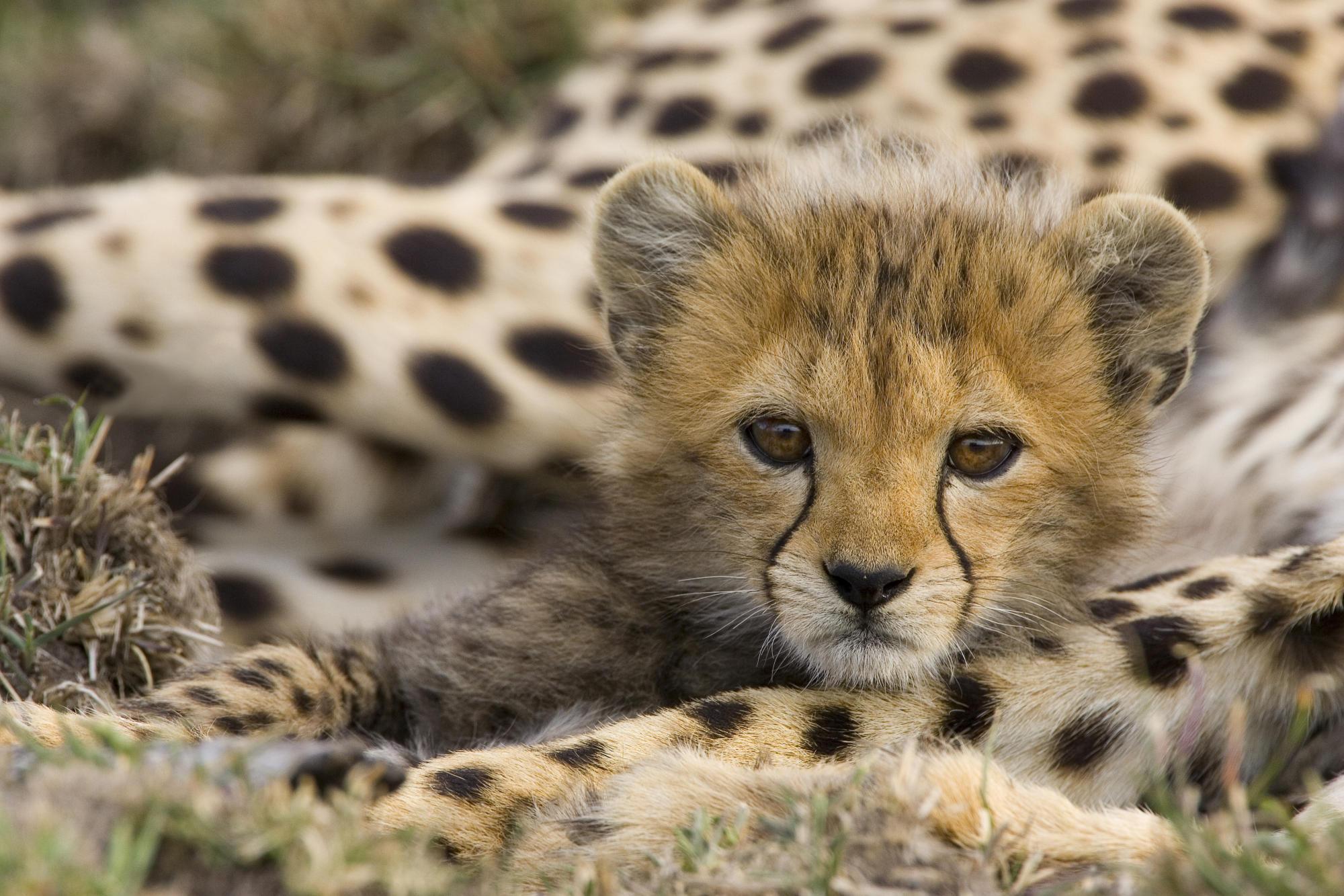Cheetah Acinonyx Jubatus