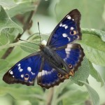 Lesser Purple Emperor butterfly